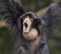 Un bébé Siamang est né au zoo de La Teste-de-Buch
