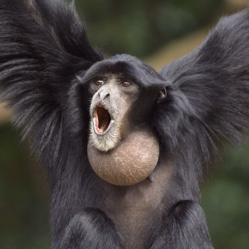 photo-Siamang